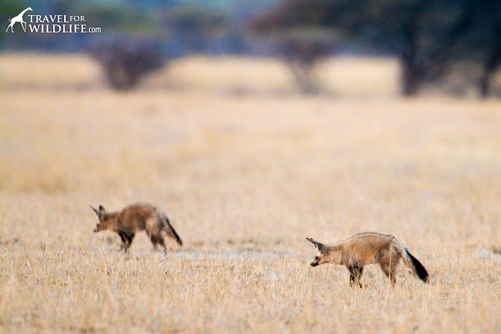 Bat-eared foxes foraging