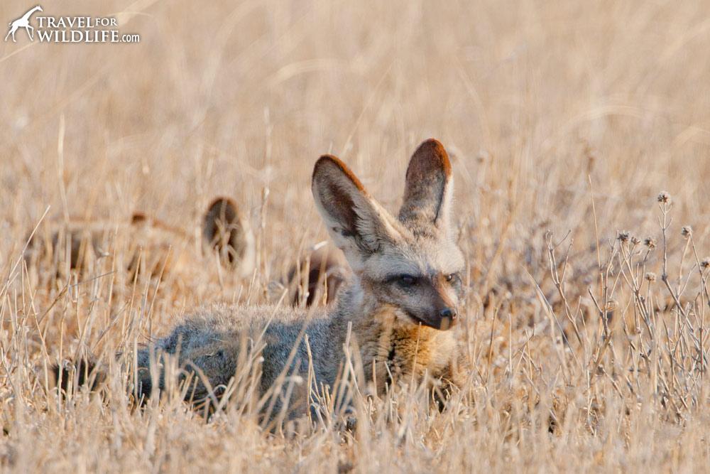 Bat-eared fox resting