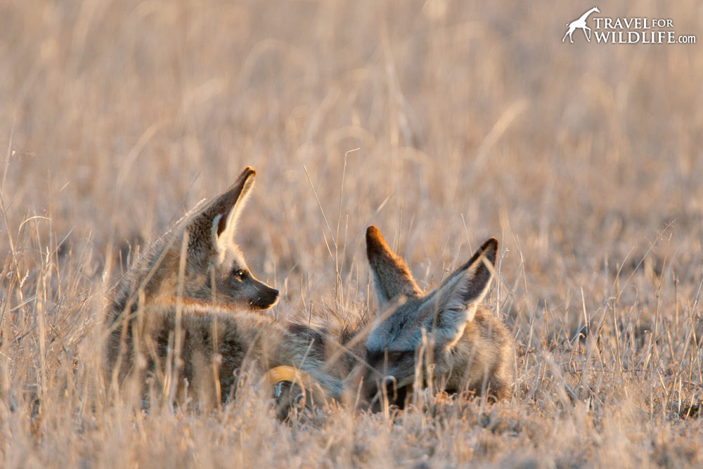 A pair of bat-eared fox laying down in the grass