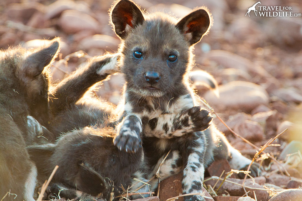 African Painted Dog (AKA African Wild Dog) puppy approx 8 weeks old. Reserve near Mkuze, KwaZulu Natal, South Africa.