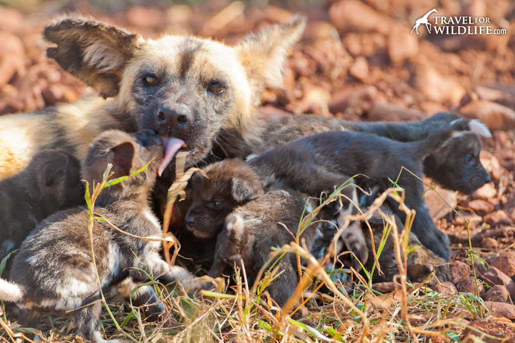 mother African Painted Dog nursing her 3 week old puppies