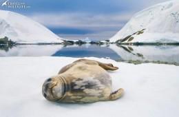 Weddell Seal (Leptonychotes weddellii). Eta Island in the Melchior Islands. Antarctic Peninsula, Antarctica. © Hal Brindley .com
