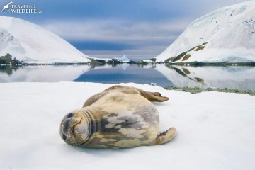 Weddell Seal (Leptonychotes weddellii). Eta Island in the Melchior Islands. Antarctic Peninsula, Antarctica. © Hal Brindley .com