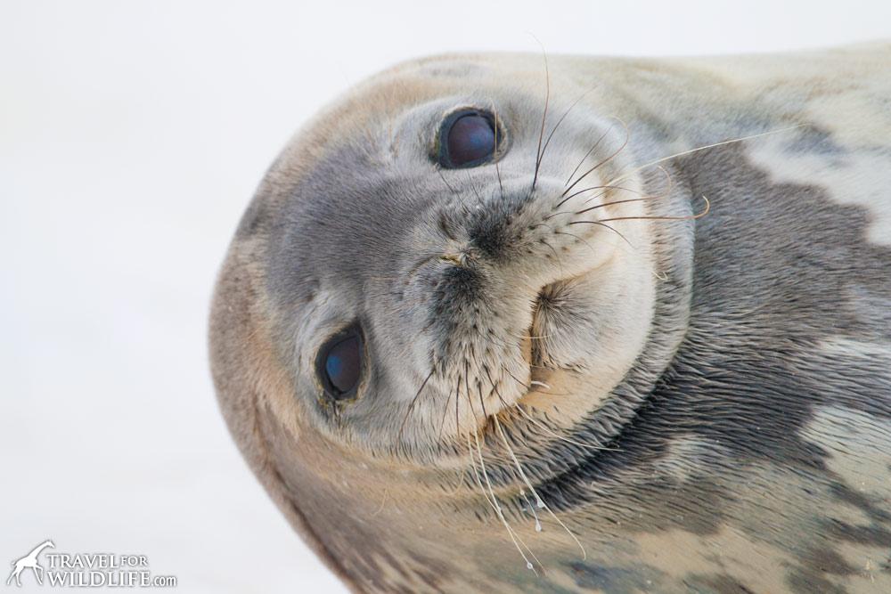 Weddell Seal (Leptonychotes weddellii). Cuverville Island, Antarctic Peninsula. Antarctica. © Hal Brindley .com