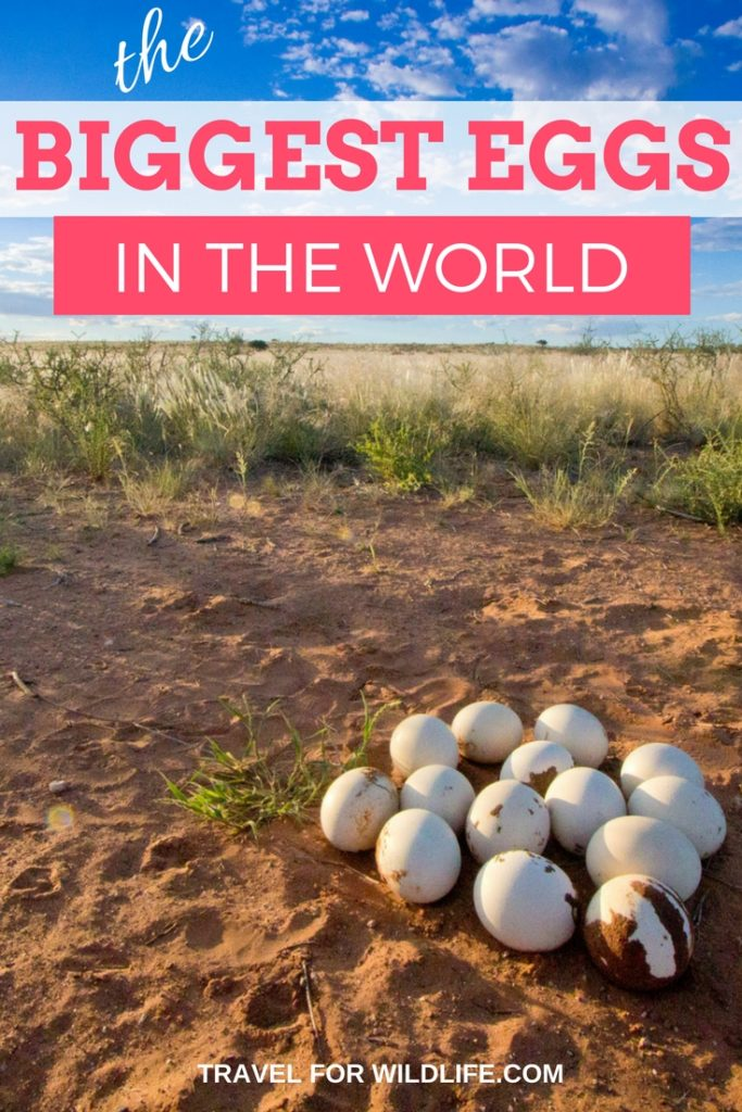 the biggest eggs in the world at Kalahari anib Lodge