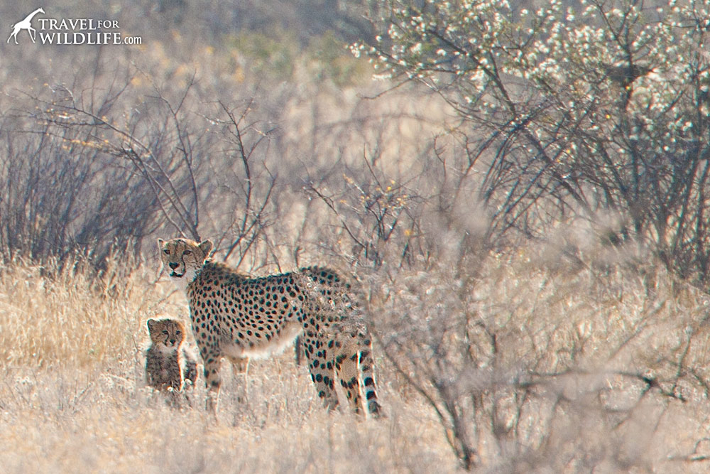 A mother cheetah and her cub in the Central Kalahari