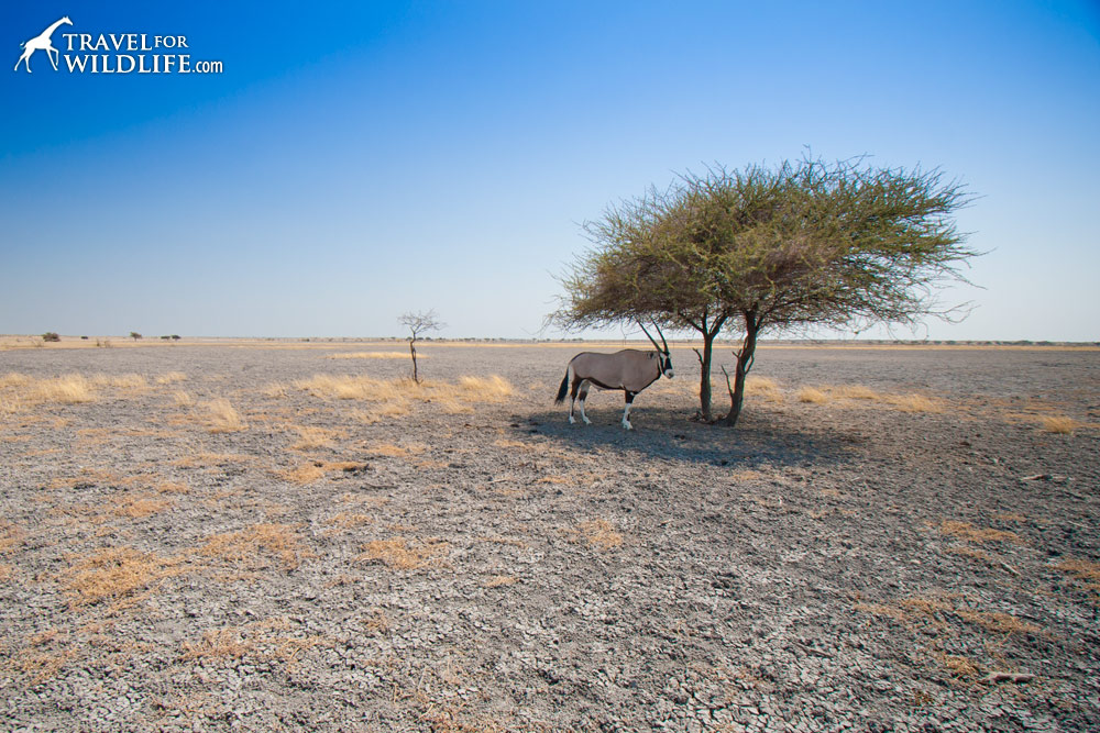 A gemsbok sheltering from the sun