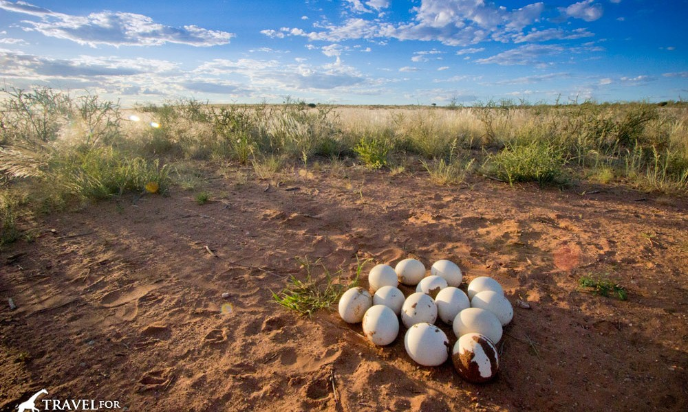 an abandoned ostrich nest full of eggs in the Kalahari Desert, Namibia
