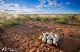 an abandoned ostrich nest full of eggs in the Kalahari Desert, Namibia