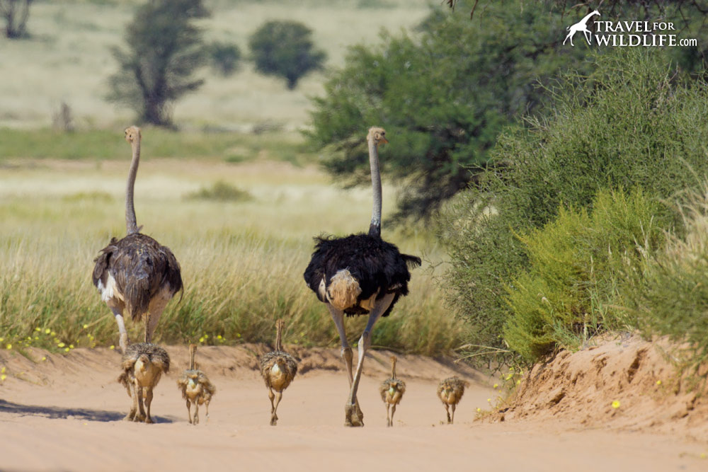 An ostrich family walking down the road in the Kgalagadi Transfrontier Park, South Africa