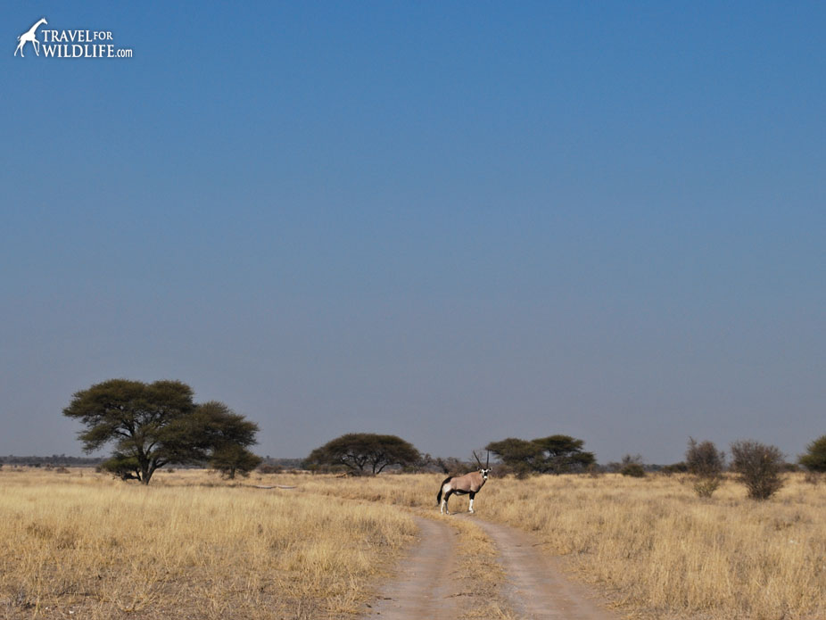 A gemsbok standing on the road