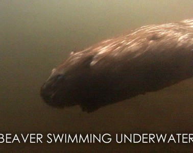 wild beaver swimming underwater