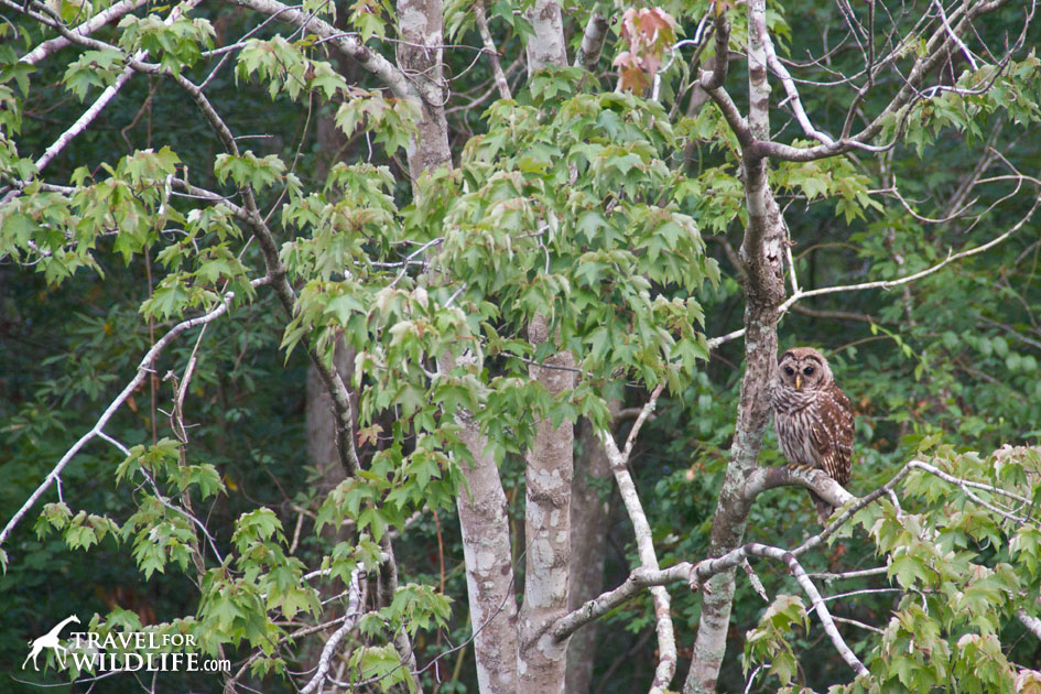 Barred owls need the forest to nest in