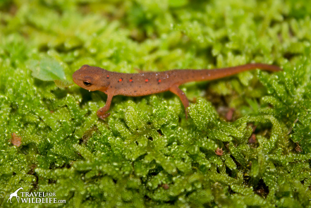 red-spotted salamander eft