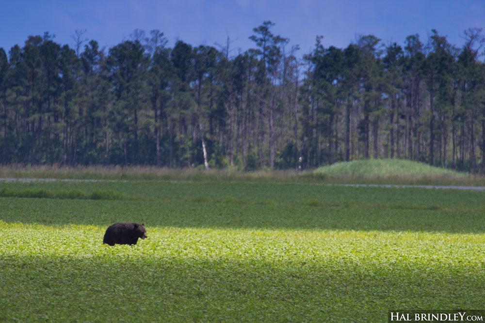 Watching black bears in North Carolina