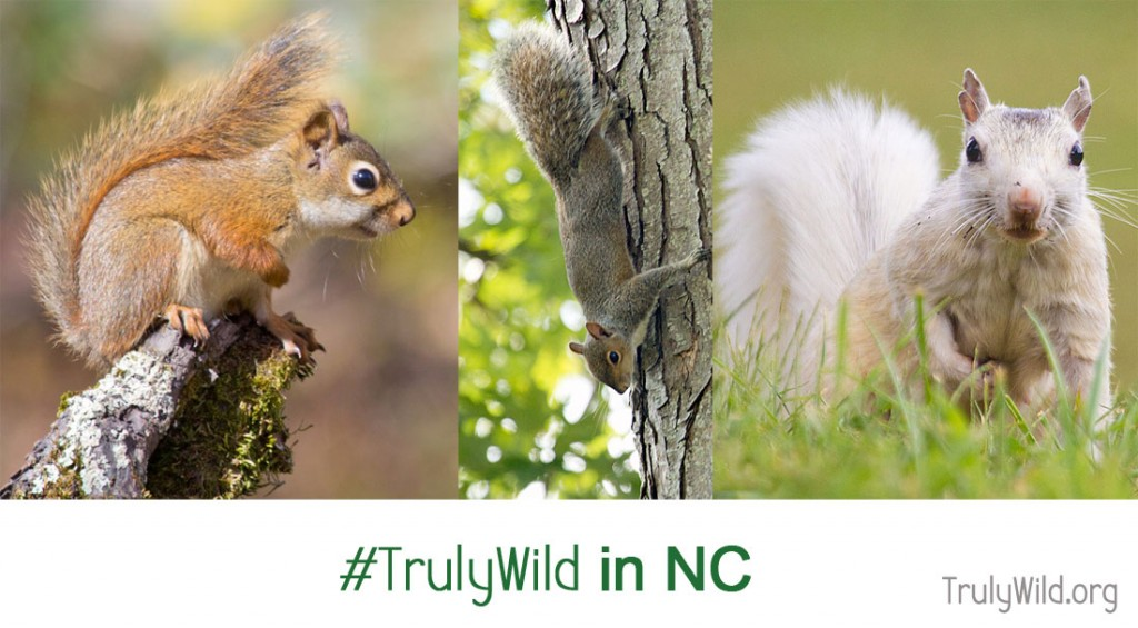 North Carolina squirrels (red squirrel, grey squirrel, and white squirrel)