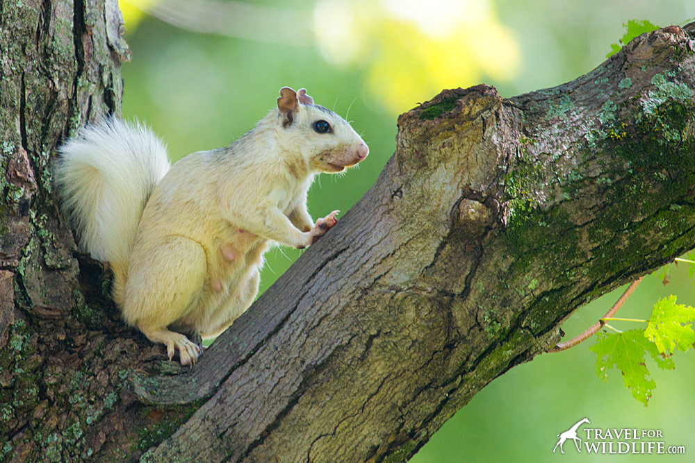 White squirrels behave just like grey squirrels