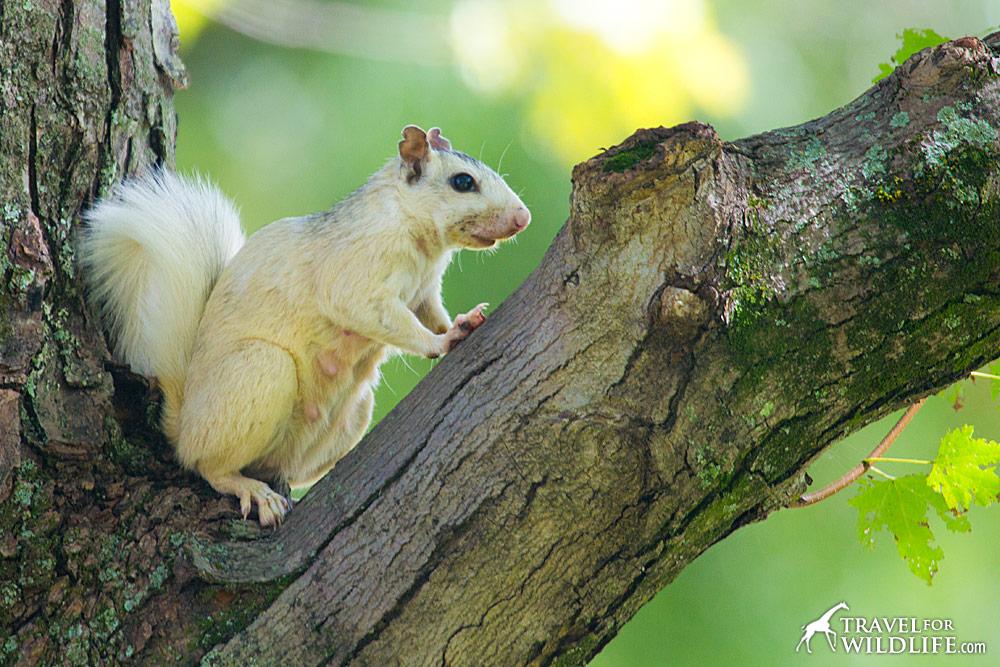 White squirrels behave just like grey squirrels