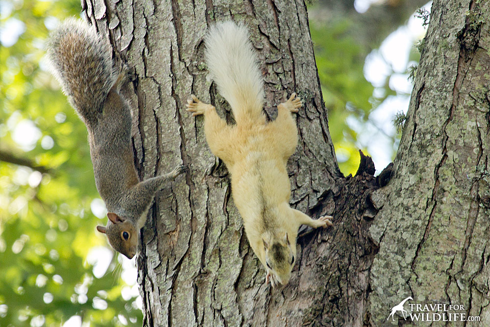 White squirrels mix with grey squirrels