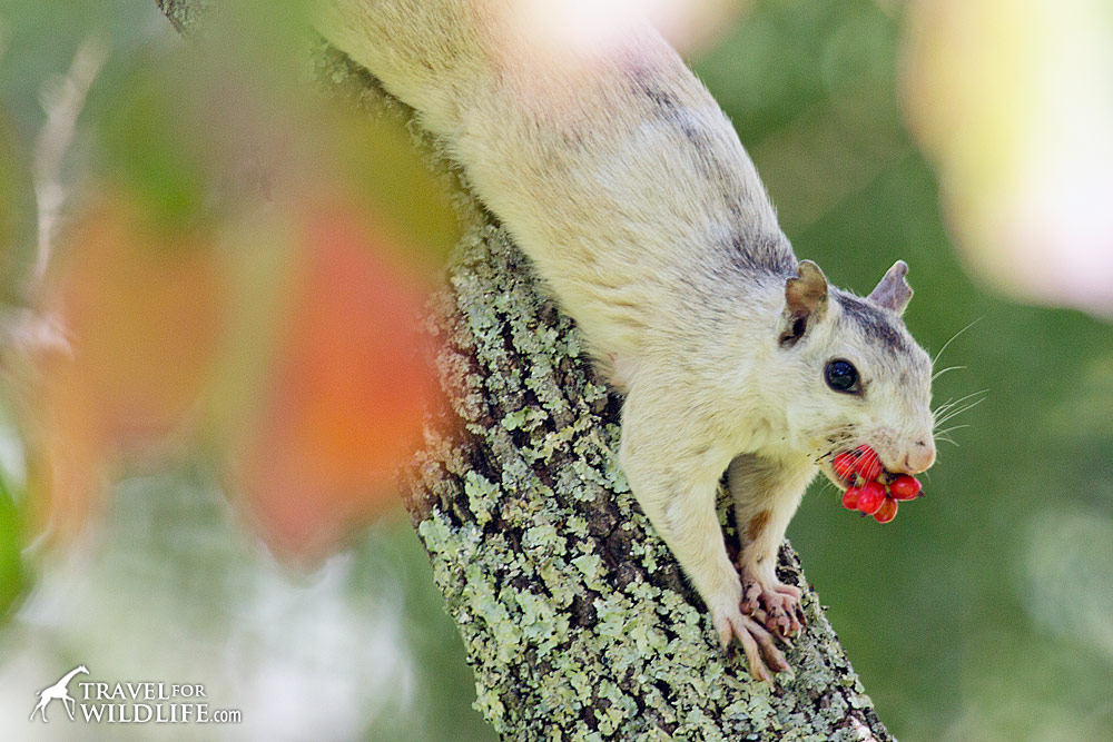 White squirrel feed on dogwood seed