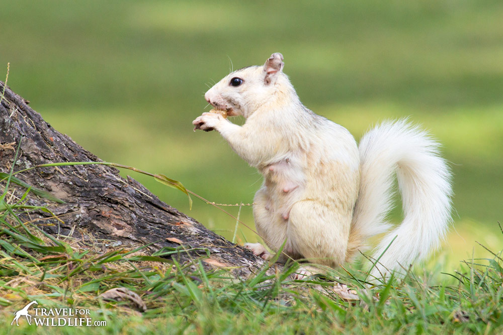 Lactating white squirrel