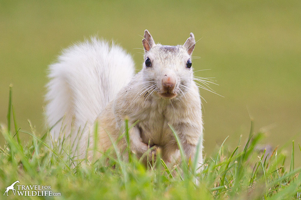 There's a population of white squirrels in Brevard