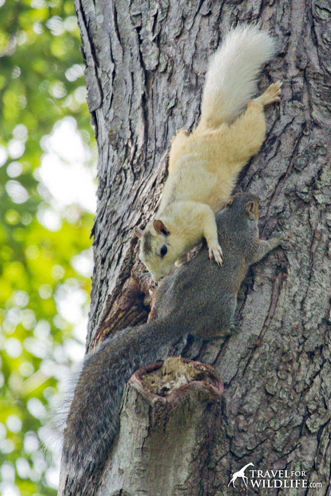 White squirrels and a grey