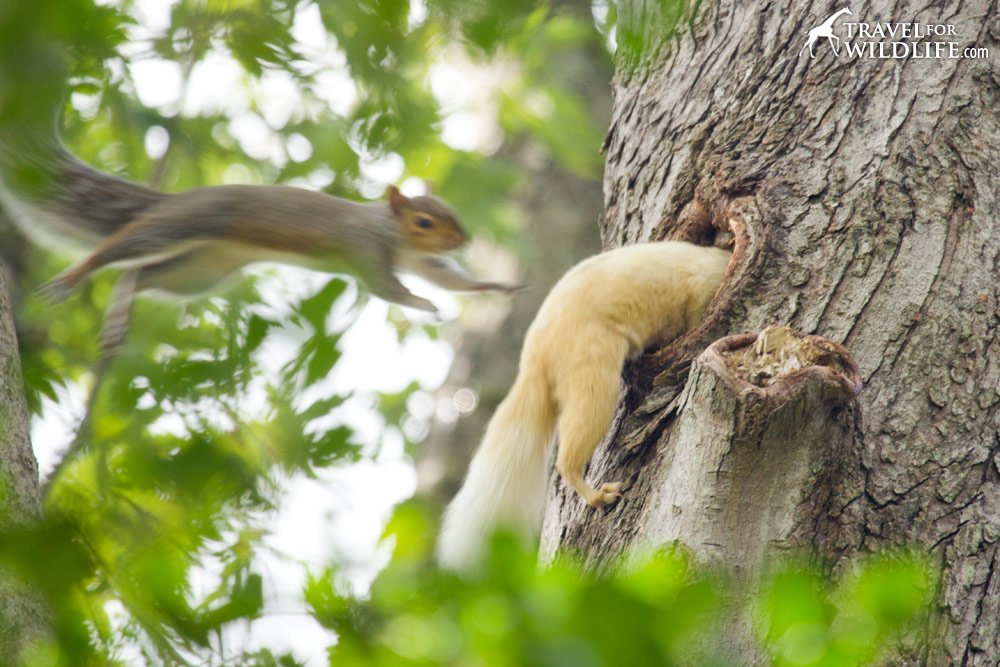 Squirrels jumping into a nest cavity