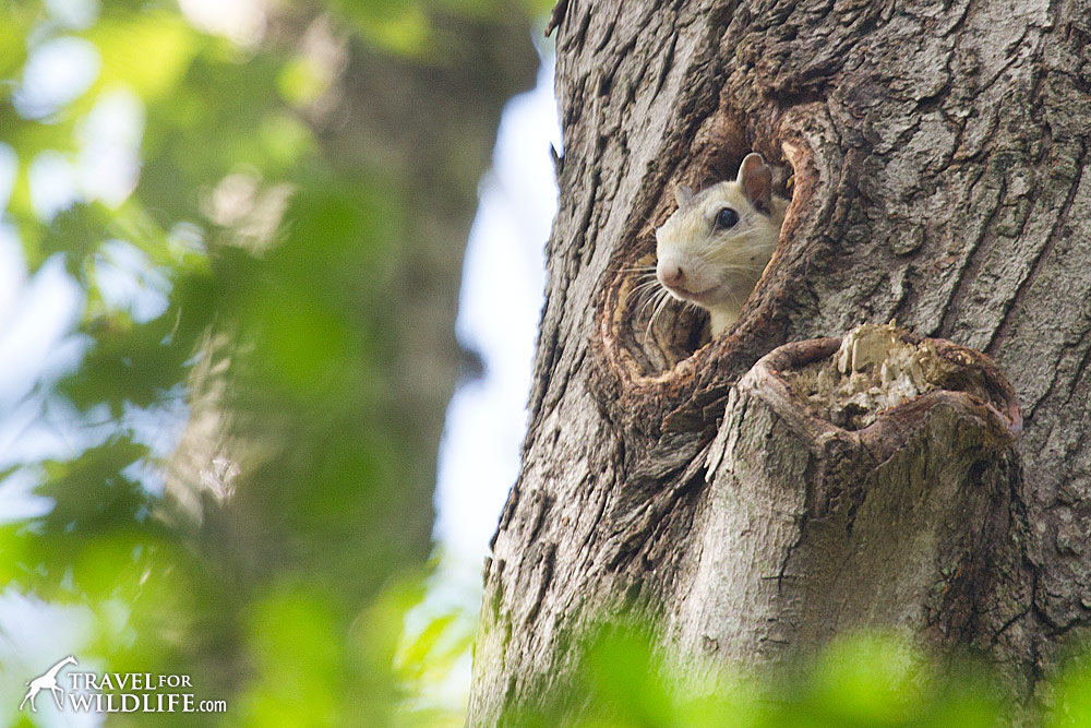 A white squirrel at her nest