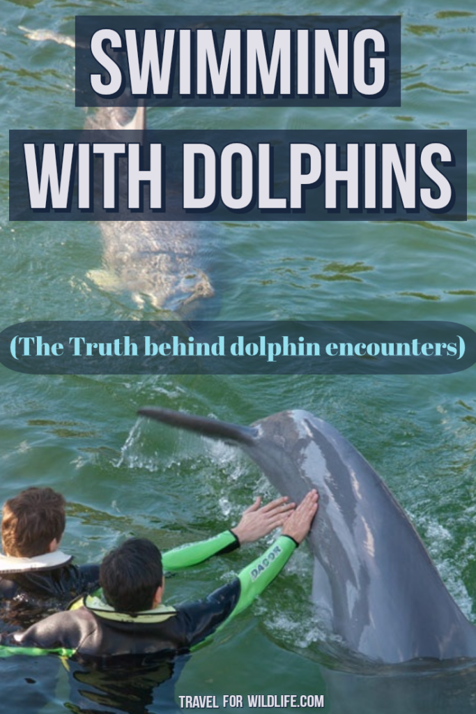 Swimming with dolphins and dolphin encounters are very popular in places like Florida and the Caribbean. This is what these wildlife attractions really are. #dolphins #swimmingwithdolphins #Florida #dolphinencounter #Caribbean #responsibletourism #wildlifetourism