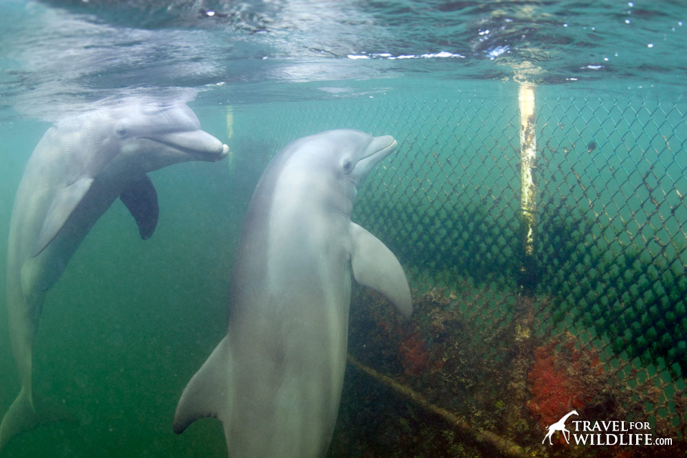 Two captive dolphins
