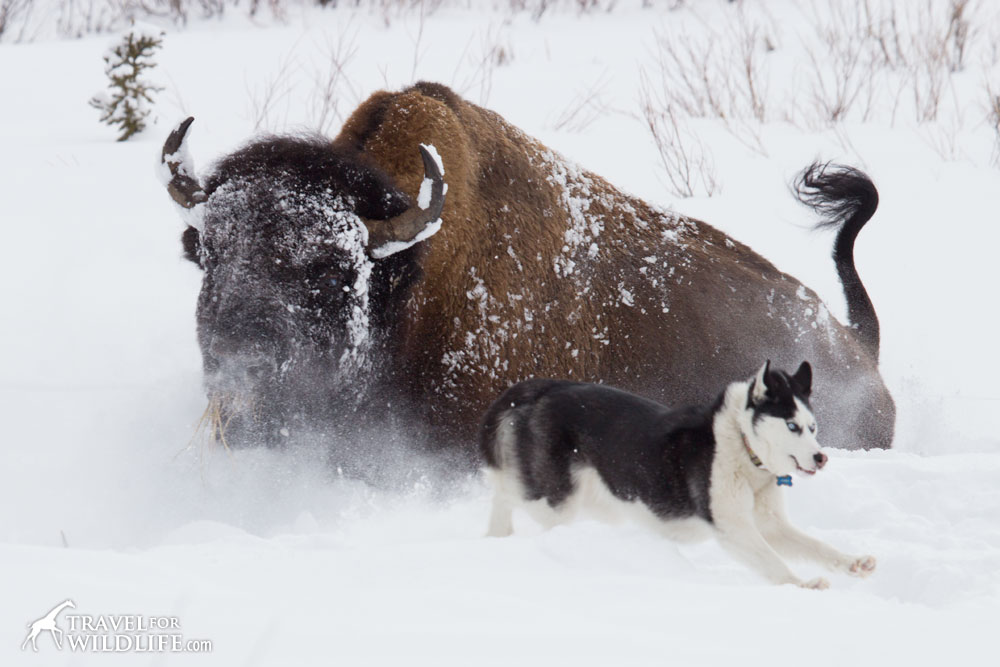 Bison and a dog