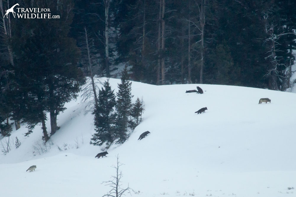 Lamar Canyon wolf pack watching in Yellowstone winter