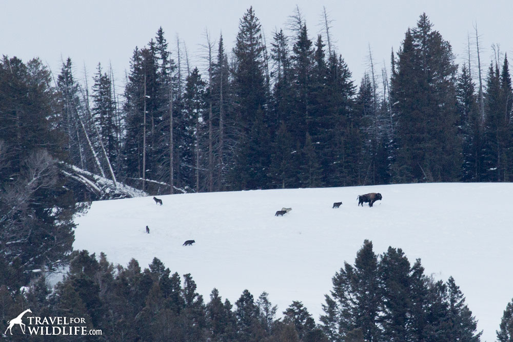 The Lamar Canyon pack following a bison