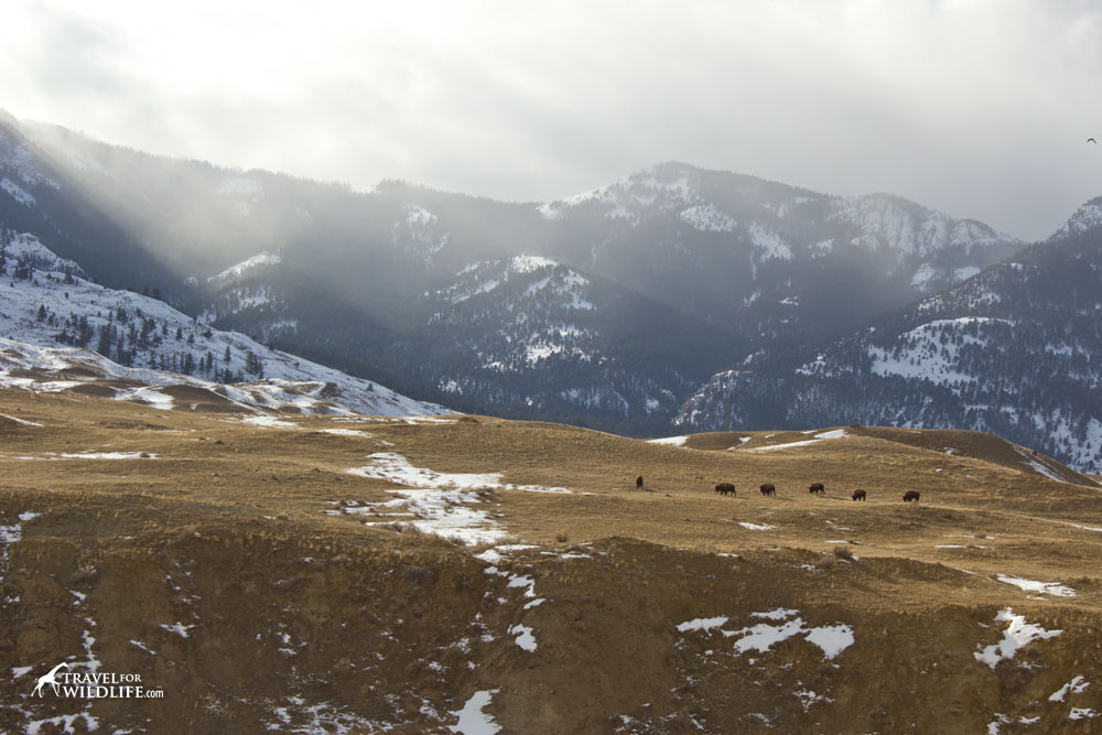 Bison outside Yellowstone