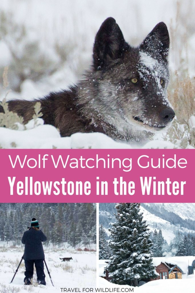 Watching wolves in Yellowstone