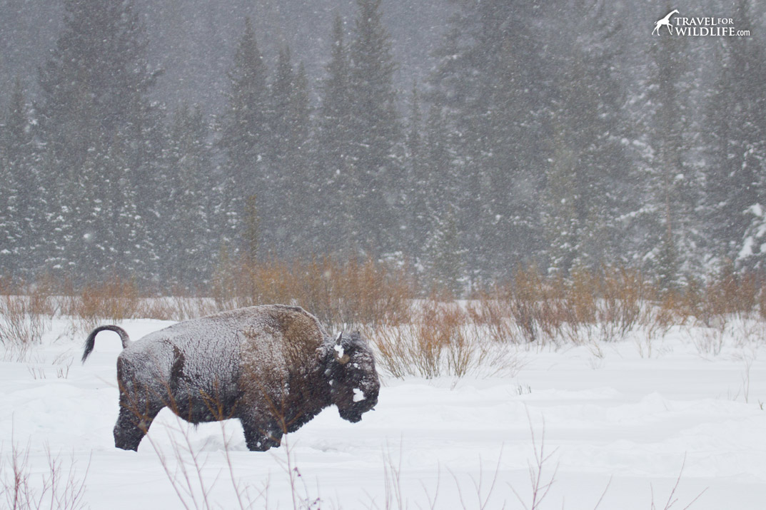 Bison in a Yellowstone snowstorm