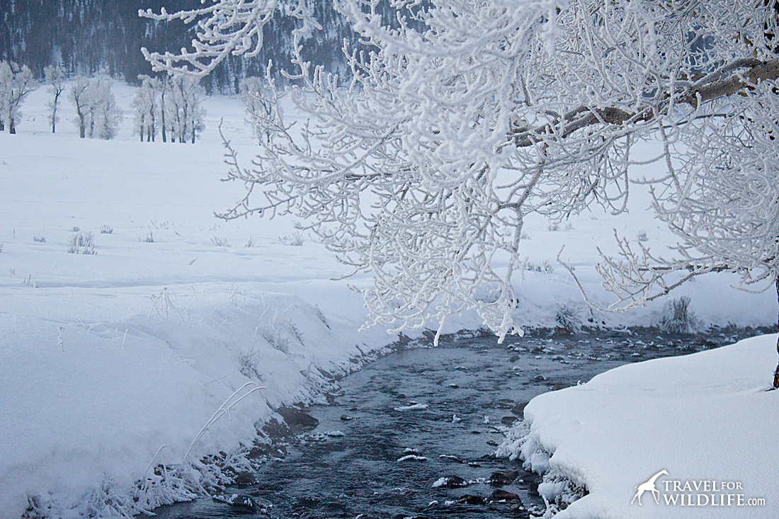 typical Yellowstone in winter scene