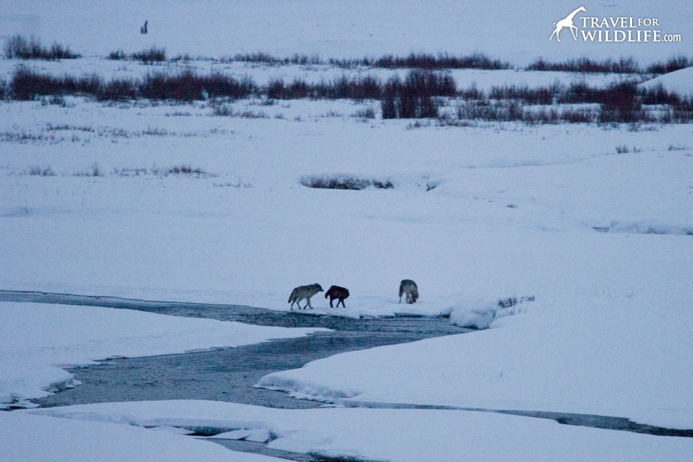 The wolves of Yellowstone in winter