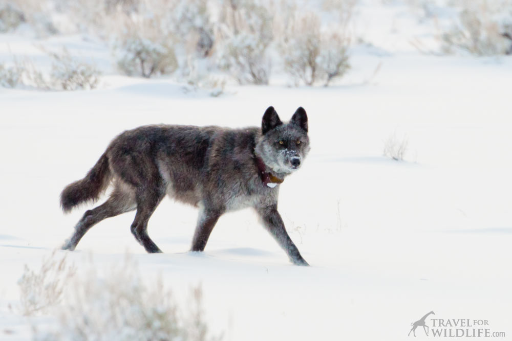 watching Yellowstone wolves in winter