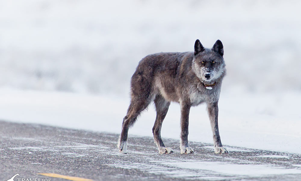 Wolf 926F killed in Silver Gate Montana