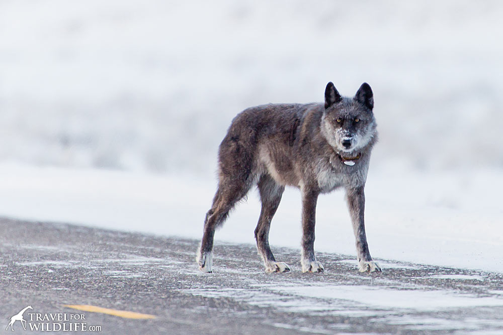 wolf crossing the road in Yellowstone