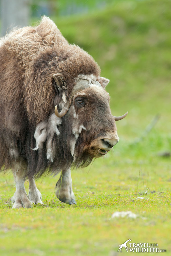 Incredible Musk Ox Facts Travel For Widlife