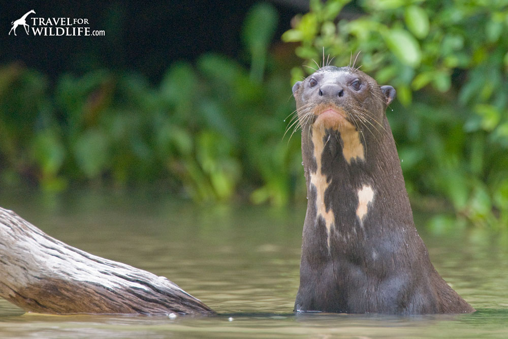 A giant otter looks at the camera