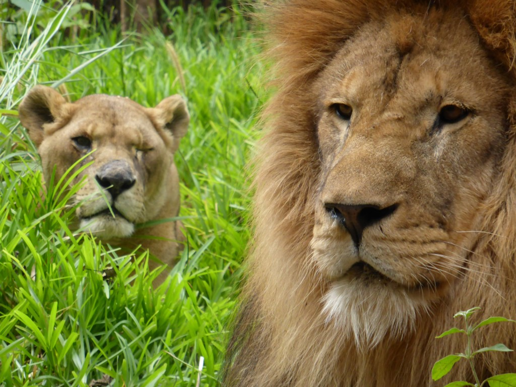 Bella, the one-eyed lioness, with Simba.