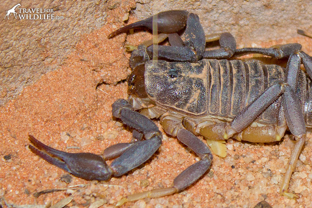 Pincers of a fattail scorpion