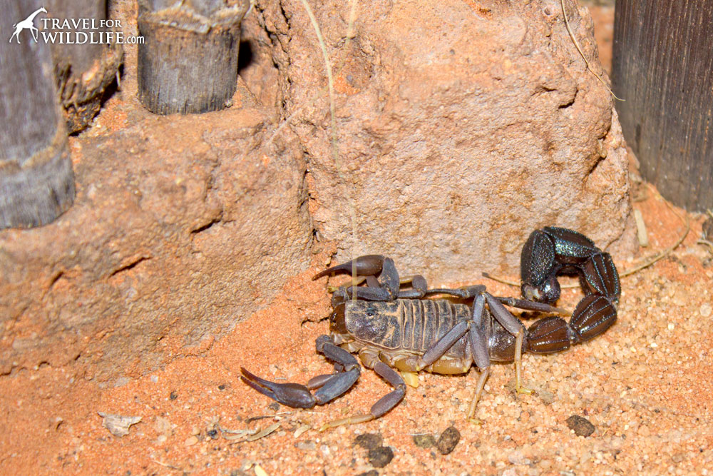 Fattail scorpion in the Kalahari desert