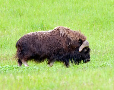 musk-ox-featured