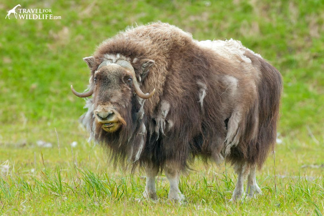The Musk Ox is not an ox at all, but closely related to goats!
