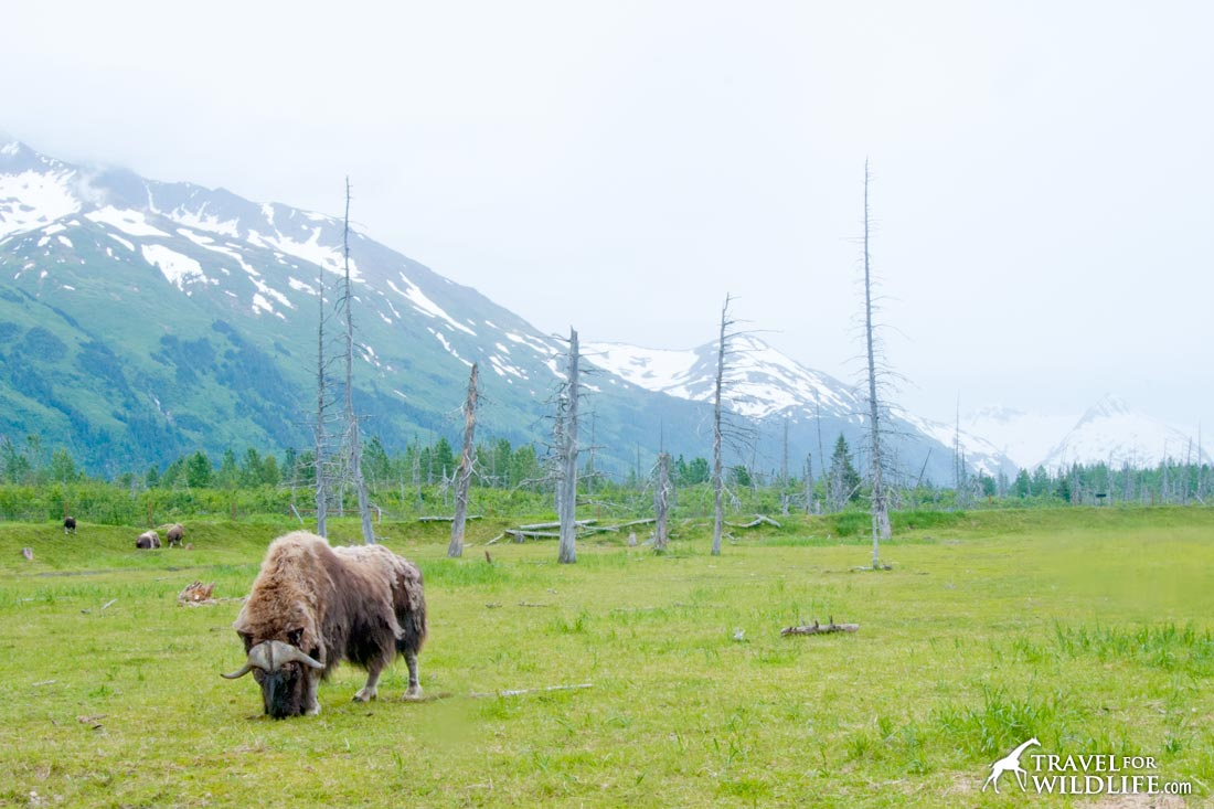 Musk Ox grazing in Alaska